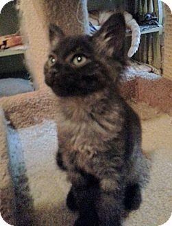Norwegian Forest Cat Kitten for adoption in Atlanta, Georgia - Marsha