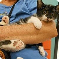 Adopt A Pet :: MuShu - Reston, VA