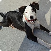 Adopt A Pet :: Pirate - Palmetto, FL