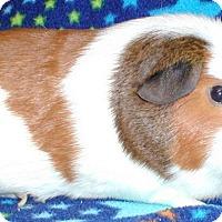 Adopt A Pet :: Cocoa - Steger, IL