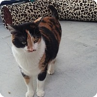 Adopt A Pet :: Brittany Nala - Diamond Springs, CA