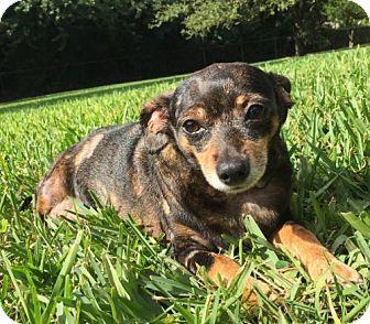Dachshund Dog for adoption in Weston, Florida - Jovie