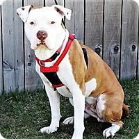 Adopt A Pet :: Honey - Shelby, MI