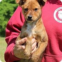 Adopt A Pet :: Biscuit~meet me~ - Glastonbury, CT
