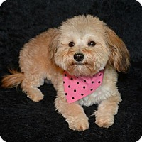 Adopt A Pet :: Layla - Abilene, TX