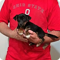 Adopt A Pet :: Ace - Gahanna, OH