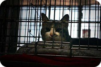 Domestic Shorthair Cat for adoption in Waldron, Arkansas - Ranger