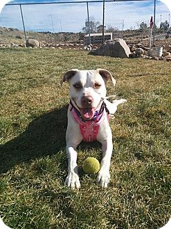 Labrador Retriever/Bulldog Mix Dog for adoption in Albuquerque, New Mexico - Chardonnay