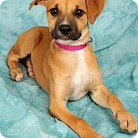 Adopt A Pet :: Goldie LabBoxermix - St. Louis, MO