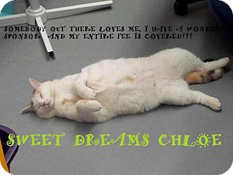 """Domestic Shorthair Cat for adoption in Mooresville, North Carolina - CHLOE """"Somebody out there loves me, I have a sponsor who paid my entire fee!"""""""