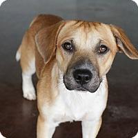 Adopt A Pet :: Ralphie - San Antonio, TX