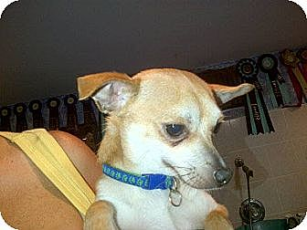 Chihuahua Dog for adoption in Mount Gretna, Pennsylvania - Domino
