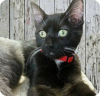 "Domestic Mediumhair Kitten for adoption in Tucson, Arizona - Foxtrot - he's ""all boy"""