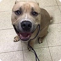 Terrier (Unknown Type, Medium)/American Pit Bull Terrier Mix Dog for adoption in Fulton, Missouri - Moose- Ohio