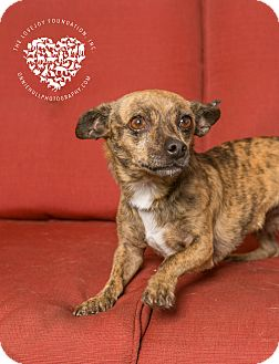 Chihuahua/Terrier (Unknown Type, Small) Mix Dog for adoption in Inglewood, California - Cayenne Pepper