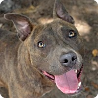 American Pit Bull Terrier Mix Dog for adoption in Ridgeland, South Carolina - Miracle