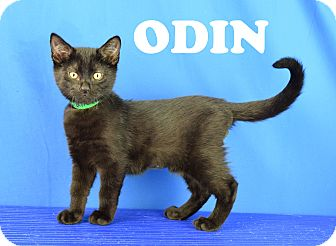Domestic Shorthair Kitten for adoption in Carencro, Louisiana - Odin