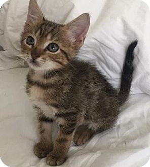 Domestic Shorthair Kitten for adoption in Austin, Texas - Hodor