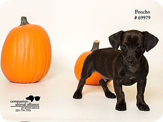 Dachshund/Terrier (Unknown Type, Small) Mix Puppy for adoption in Baton Rouge, Louisiana - Poncho  (Foster Care)