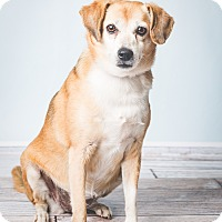 Beagle/Jack Russell Terrier Mix Dog for adoption in Hendersonville, North Carolina - Polly