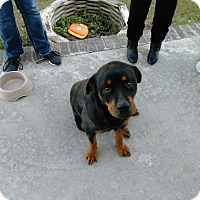 Rottweiler Dog for adoption in New Smyrna Beach, Florida - FiFi