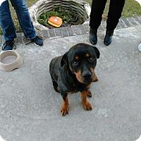 Adopt A Pet :: FiFi - New Smyrna Beach, FL
