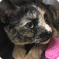 Domestic Shorthair Cat for adoption in Voorhees, New Jersey - Murial