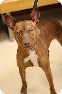Pit Bull Terrier Mix Dog for adoption in Lyles, Tennessee - Dixie