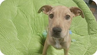 Pit Bull Terrier Mix Puppy for adoption in Forest Hill, Maryland - Hermione