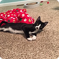 Domestic Shorthair Kitten for adoption in Akron, Ohio - Mary