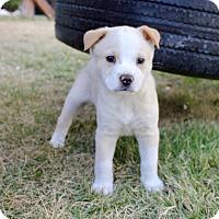 Adopt A Pet :: Tempie - San Antonio, TX
