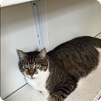 Adopt A Pet :: Tiger Thomas - Ashland, OH