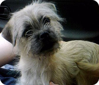 yorkie mix with pug teddy adopted puppy cleveland akron oh pug yorkie 4974