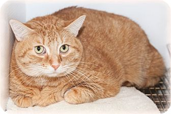 Domestic Shorthair Cat for adoption in Howell, Michigan - Lucy