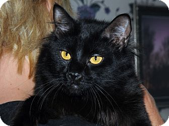 Domestic Longhair Cat for adoption in Monroe, Georgia - Sampson