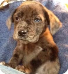 Labrador Retriever/Australian Cattle Dog Mix Puppy for adoption in Marlton, New Jersey - Baby Mason - 1 blue eye!