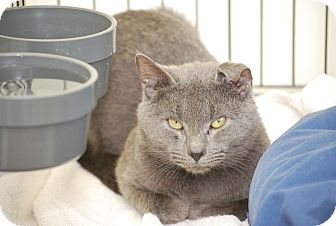 Russian Blue Cat for adoption in Bensalem, Pennsylvania - Marlow