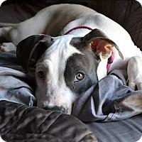 Adopt A Pet :: Nadia - Van Nuys, CA