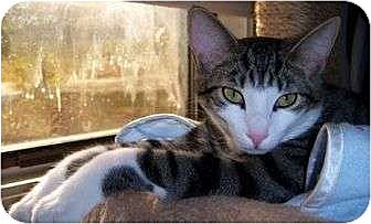 Domestic Shorthair Cat for adoption in Cocoa, Florida - Fish