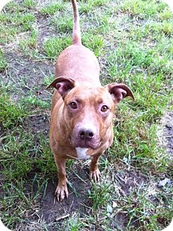 Pit Bull Terrier Mix Dog for adoption in Louisville, Kentucky - POPPIN PIE