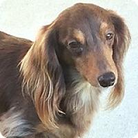 Adopt A Pet :: Hans Hamburg - Houston, TX