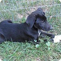Adopt A Pet :: General Joe - Middletown, RI