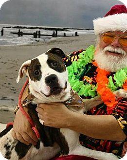 American Bulldog/American Pit Bull Terrier Mix Dog for adoption in Cochran, Georgia - Rusty