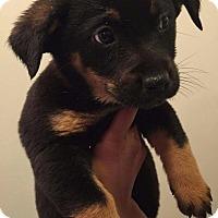 Adopt A Pet :: Aslaug (Vikings pup) - Alexandria, VA