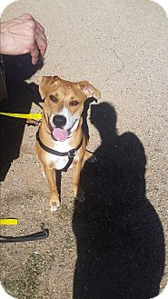 Labrador Retriever Mix Dog for adoption in Lubbock, Texas - Albert (Courtesy Listing)