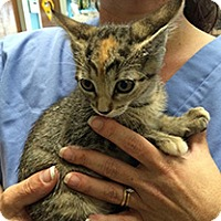 American Shorthair Kitten for adoption in Metairie, Louisiana - Amber