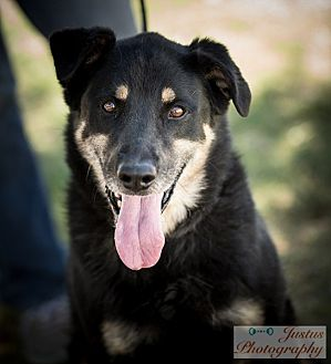 Rottweiler Mix Dog for adoption in Cedar Crest, New Mexico - Bigfoot
