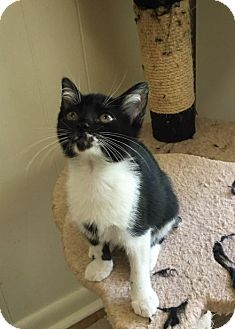 Manx Cat for adoption in Hammond, Louisiana - Lacee
