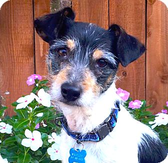 Jack Russell Terrier/Parson Russell Terrier Mix Dog for adoption in San Francisco, California - Wrigley