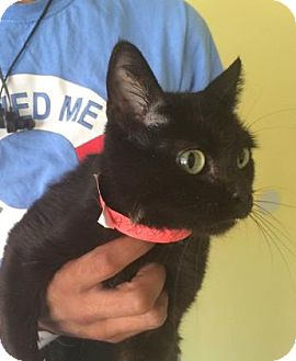 American Shorthair Cat for adoption in Philadelphia, Pennsylvania - beauty